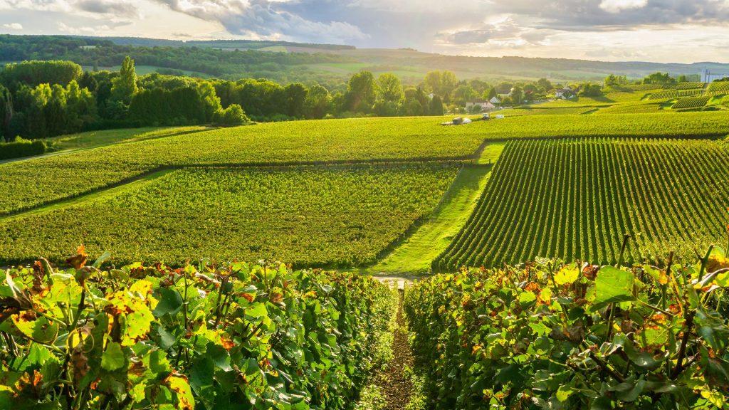 chardonnay i vino